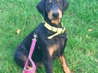 Doberman Puppy-Black and Rust markings. Puppy w/shots,