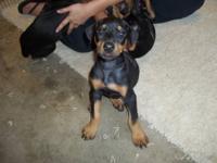 11 week old AKC Doberman Pinscher Puppies - all black