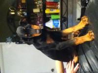 We are selling 2 beautiful female Doberman pinscher