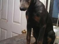 DOBERMAN young puppies, M&F, blk/blues, 32yrs exp.