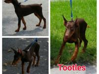 Doberman Pinscher Puppies 2 Red/Rust. Male Left. Full
