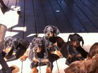 Doberman Puppies Males and Females Black and rust along
