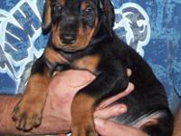 Complete blooded Doberman Pinscher Puppies. Black and