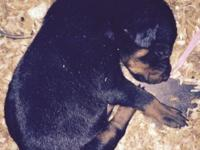 Purebred Doberman Pinscher puppies. Black/tan. $500 2
