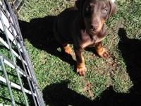 Adorable AKC puppies.  2 red/rust F, 2 red/rust M,