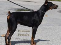 Doberman Puppies Purebreed (Born 02/17/15) 2 Female