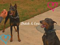 Doberman Pinscher Puppies $500 READY NOW FOR NEW