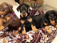 DOBERMAN PINSCHER PUPPIES for sale $400.00. Born