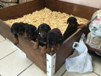Gorgeous AKC Doberman puppies ..Born 09/01/15..4 Black