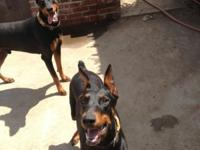 Pure Bread Doberman Puppies for sale. These puppies