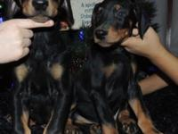 Doberman Pinscher Puppies born Oct 7th 2014. Mom is and
