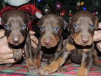 Gorgeous Doberman Pinscher dogs. Born Oct. 29th.