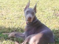 I have a male Doberman Pinscher puppy of 13 weeks of
