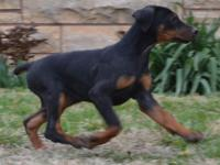 100% European! Gorgeous litter of Dobermans ready to go