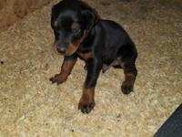 AKC Euro Doberman puppies ********