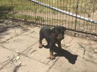 Purebred Doberman Pinscher: Black/rust male and red