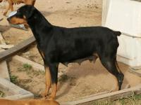 Taking advanced deposits on upcoming Doberman Litters,