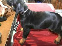 Black and rust Doberman puppy ready for its forever
