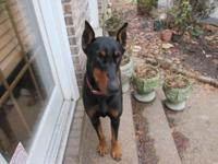 Very Beautiful Doberman Pinscher puppy Will be ready to