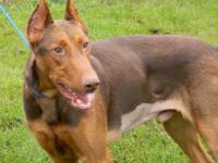Doberman Pinscher - Rizzo - Large - Adult - Male - Dog