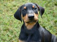 Doberman Pinscher - Spectacular Shelby! - Large - Adult