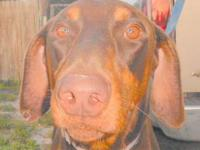 "Doberman Pinscher - ""toby 3"" - Large - Young - Male -"