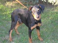 Doberman Pinscher - Trooper - Large - Young - Male -