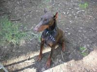 Doberman Pinscher - Truck - Large - Adult - Male - Dog