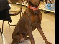 Doberman Pinscher - Yeager - Large - Adult - Male -