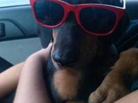 Doberman Pinscher - Zander-adoption Pending! - Extra