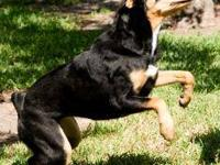 Doberman Pinscher - Zena - Large - Adult - Female -