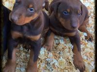 top quality doberman pinschers for sale, sold as pets /