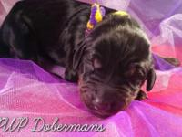 AKC doberman children born upon February 11th! Non z