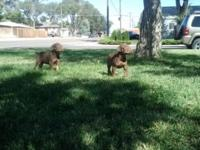 I have 7 akc registered doberman pinchers all red and