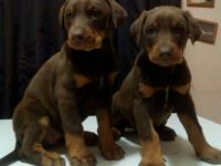Doberman puppies for sale 5 black males and 2 red