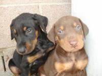 Description DOBERMAN PUPPIES, all colors, up to date on