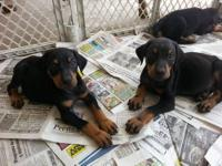 Doberman Puppies For Sale! DOB: 2/23/13 5 Males 5