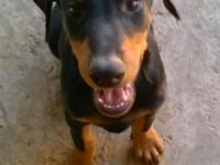 I have six doberman puppies for sell. 3 females and 3