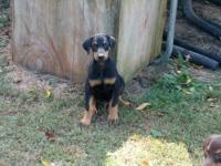 I have 6 adorable Doberman puppies. There are 3 left