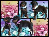 Red & Rust Doberman Pinscher Puppies: Born July