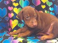 Doberman puppies ready for their new homes. Full