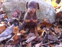 Purebred Akc Doberman puppies 4 girls 3 boys black/rust