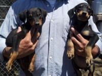 PURE REPRODUCED DOBERMAN PINSCHER PUPPIES! 8 weeks