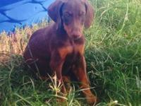 Doberman puppies require a great home. Complete bread