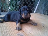 I have Doberman puppies for sale $500 -4weeks old coped