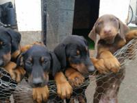 Six Doberman puppies prepared for a great home. 4 black