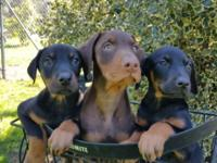 Scarlett and Cobalt present their 6 week old (reds and