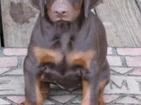 AKC registered Doberman puppies, very healthy and very
