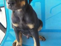 8 wks old Black and tan doberman puppies for sale...