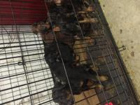 doberman puppies for sale they got their first shots in